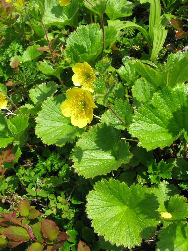 Geum_calthifolium