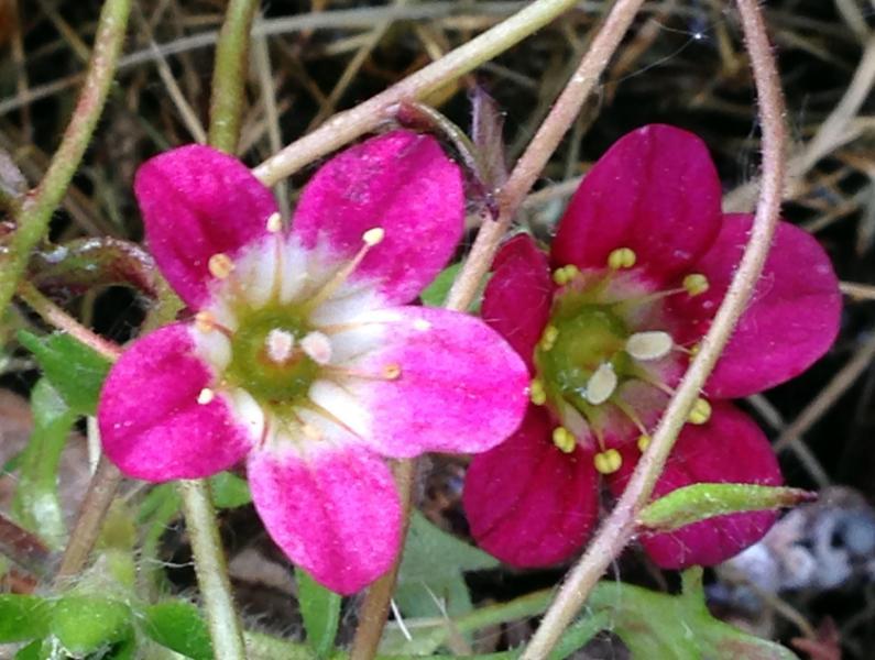 Rosenbräcka