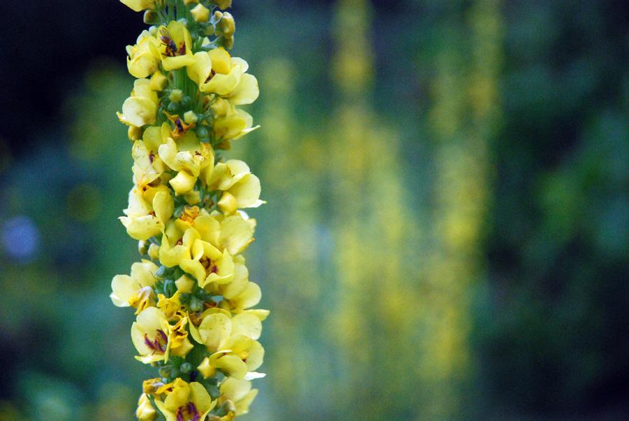 Verbascum chaixii