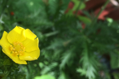 fingerPotentilla
