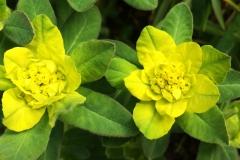 Gulltörel, Euphorbia epithymoides.
