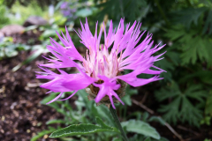 lila-klint