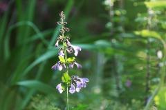 Stor drakblomma. Nepeta sibirica. Artens utbredningsområde:  Kazakstan, S Sibirien, Mongoliet - NC Kina. Aromatiska blad. Luktar!