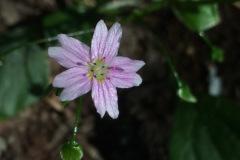 Vårsköna, claytonia sibirica, marktäckare. Småplantor från PO sommmaren 2021. Placering: Pil-lådan