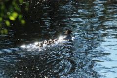 Storskrakehona med ungar , sommaren 2019. Finns i älven varje sommar
