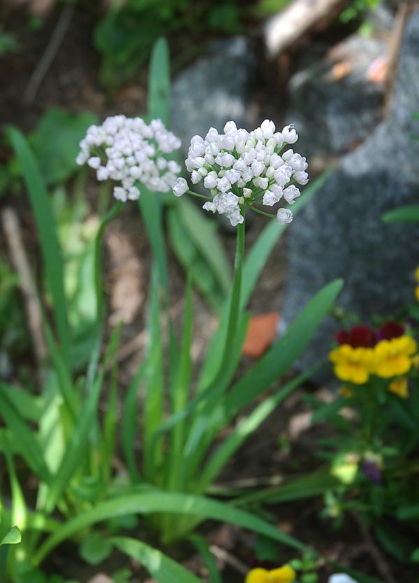 Allium senescens ssp montanum.