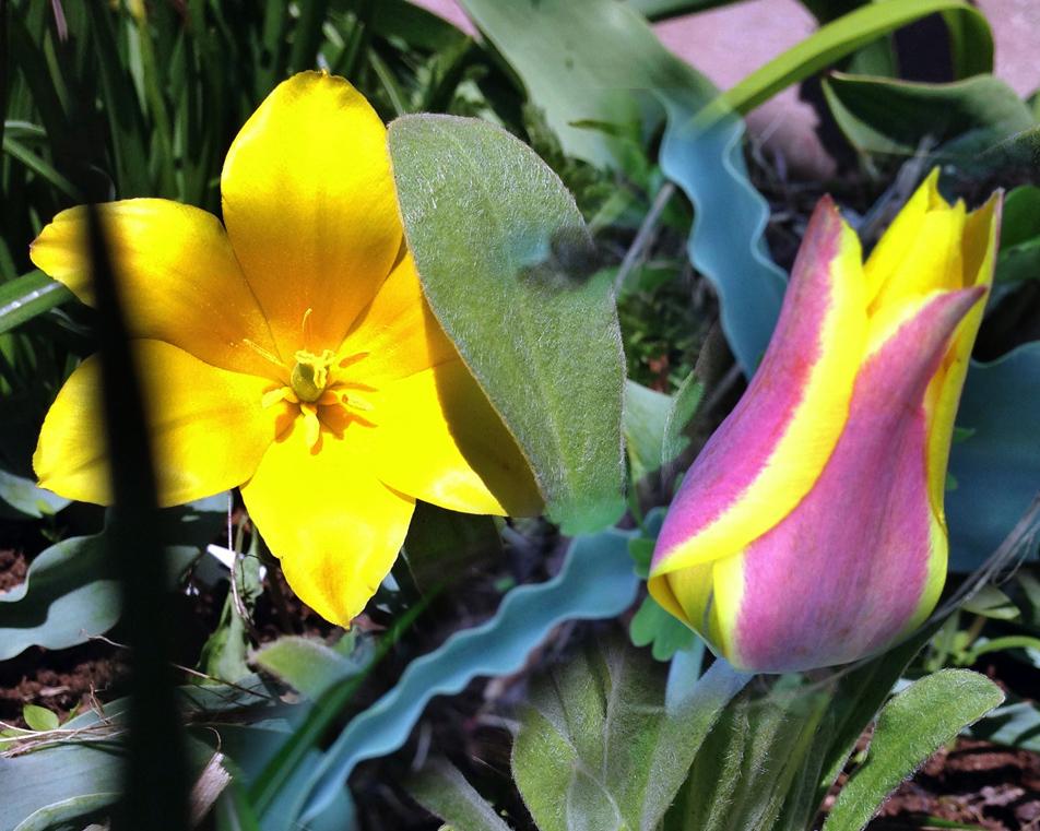 Altaitulpan. Tulipa altaica
