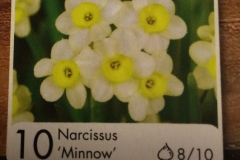 Narcissus tazetta 'Minnow'