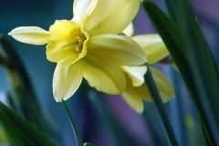 Orkidenarciss, Stint
