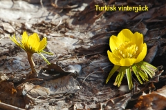 Turkisk vintergäck