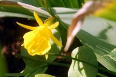 krinolinnarciss