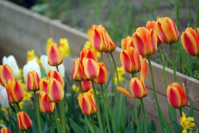 tulipa sp från Lidl