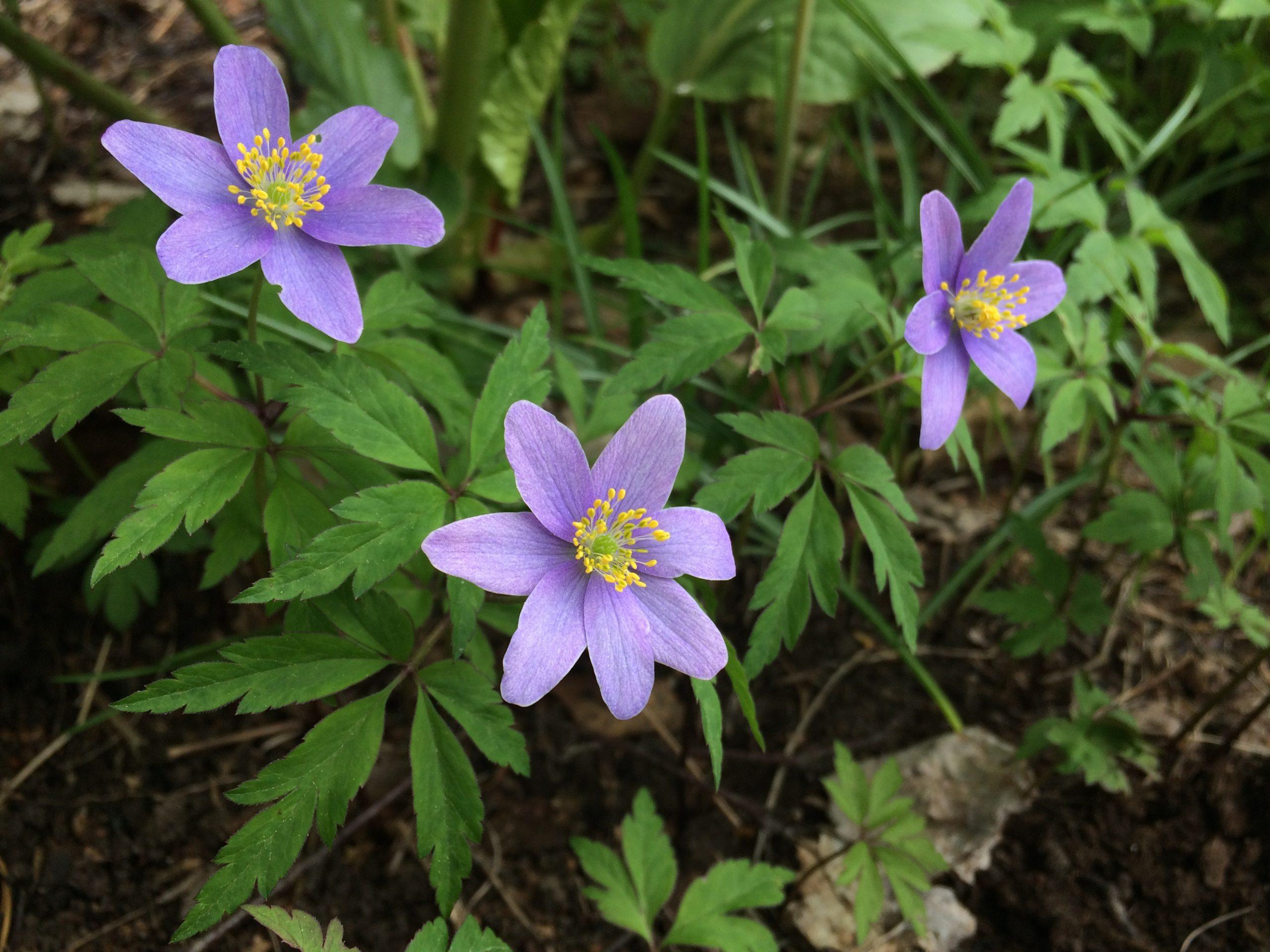 Royal Blue, blå vitsippa, Eurobulb, anemone nemorosa
