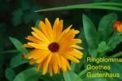 Ringblomma