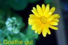 gul:gul